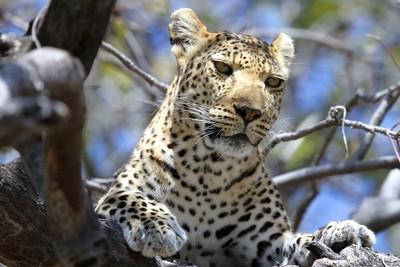 Leopard in its favourite spot