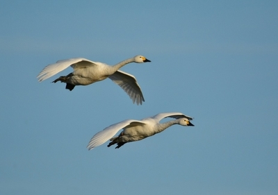 DSC9449 Bewick Swans in Flight # 1