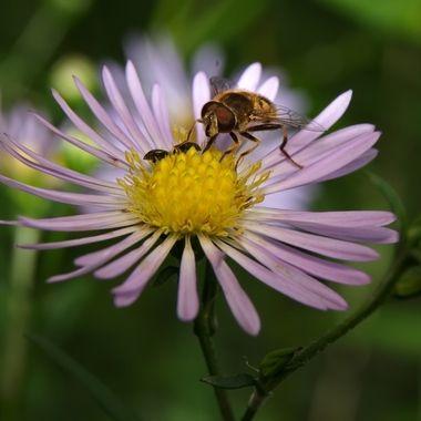 Hower fly