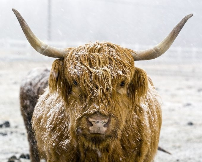 Scottish Highlander by DavidZulch - Farms And Barns Animals Photo Contest