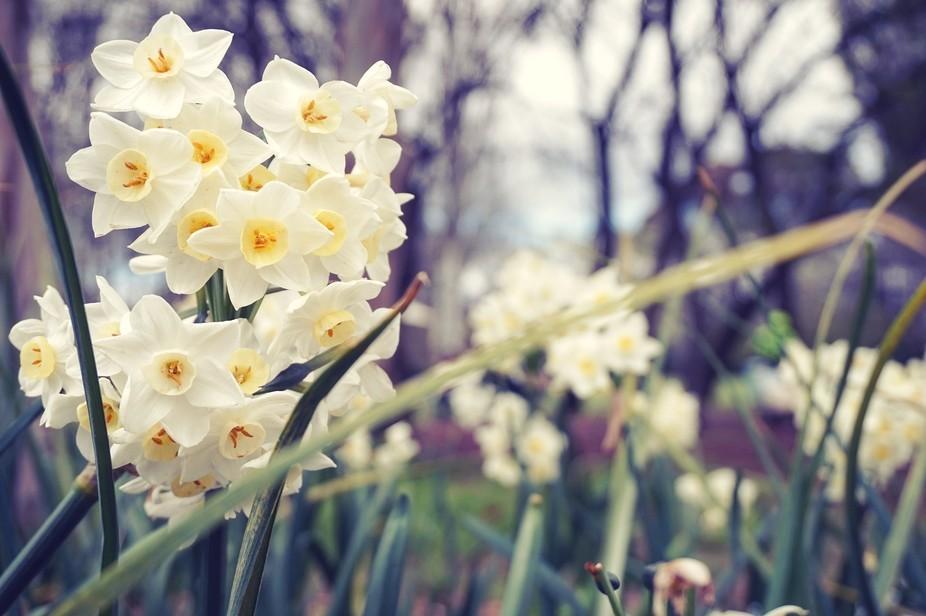 Early wild daffodils