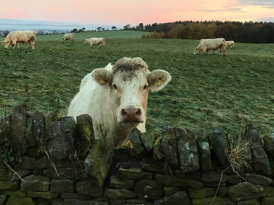 Saw the cow peeking over the wall on my way to work, early one morning.