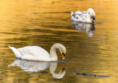 Mute swans on Studley Lake