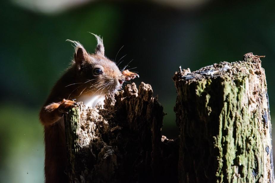 Red Squirrel, Brownsea Island, Dorset