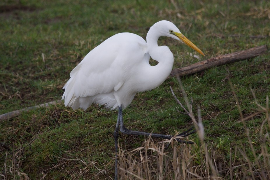 Viewing the wildlife at the Ridgefield Wildlife Refuge. This Egret was cooperative at being photo...