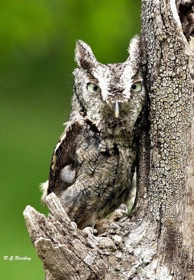 A84V0104 copy cropd screech owl