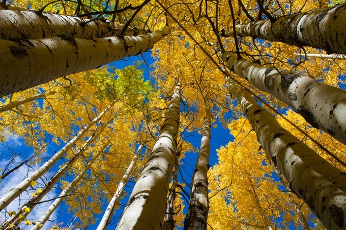 Golden Roof by KColbyPhotography - Tall Trees Photo Contest