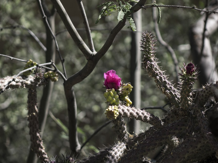 In the middle of the desert thorny beauty,