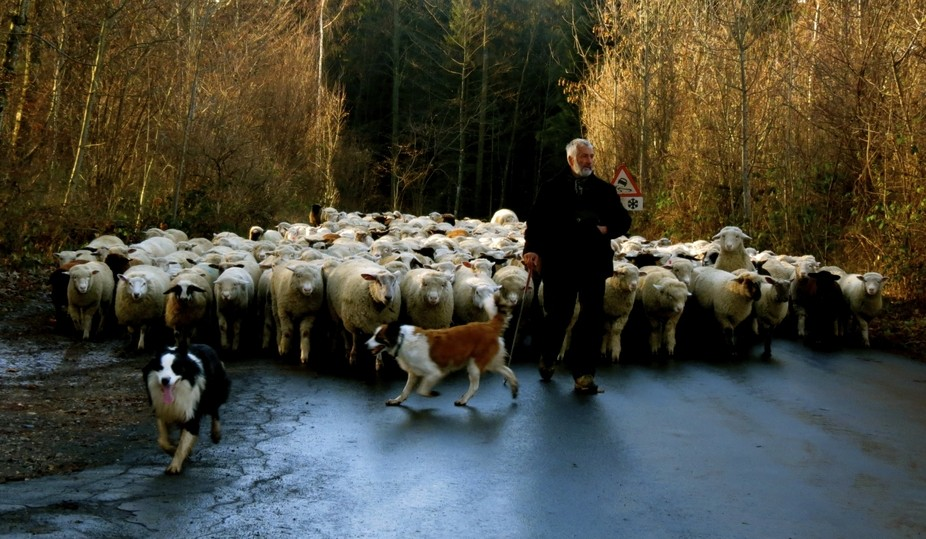 The Transhumance:  A shepherd and his 600 sheep have just walked 50 kilometres from Yverdon to ab...