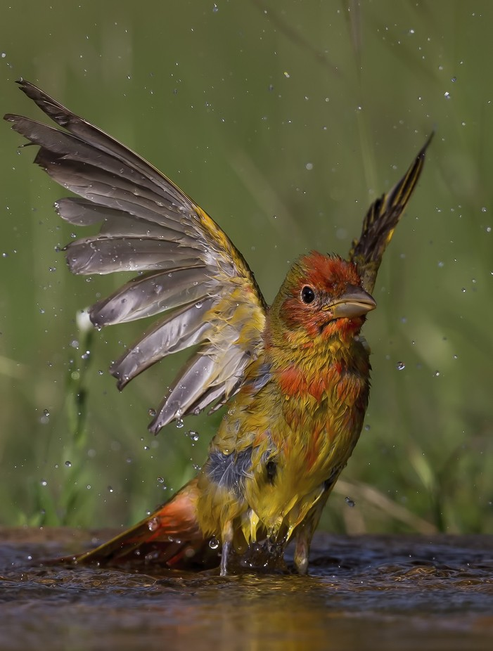 """""""Summer Tanager"""" by DeanSmithPhotography - Celebrating Nature Photo Contest Vol 5"""