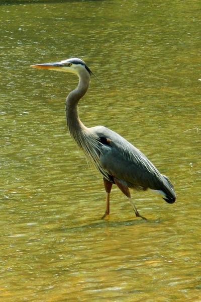 14 May 2012-Bonita Lakes-Great Blue Heron