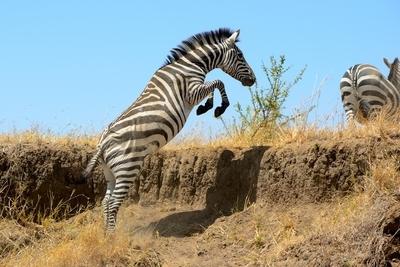 Zebra Jump