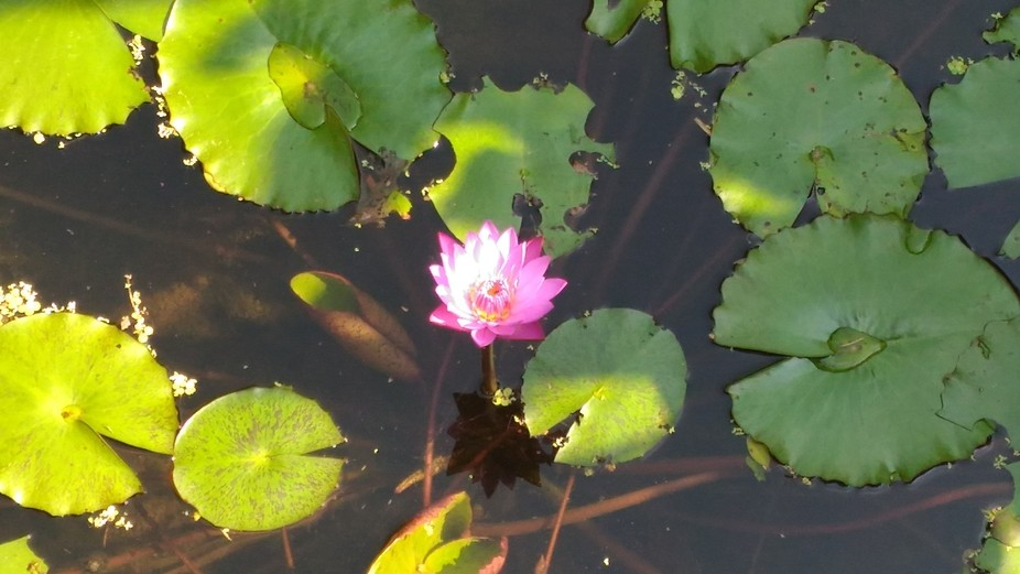 The beauty of lotus...