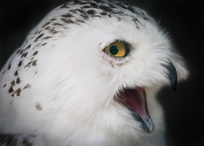 Snowy owl moods