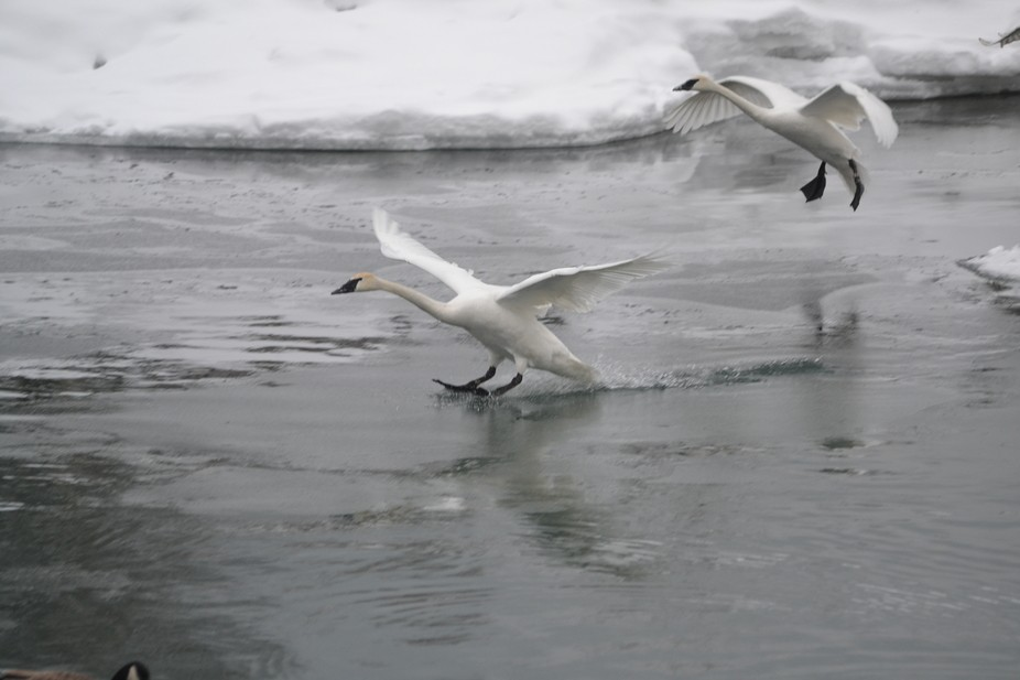 The swans are coming in for a landing in a cold Lake Ontario at Bluffers Park