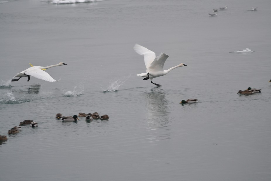 I captured these swans walking on the water, or so it appears, they are gathering speed so they c...