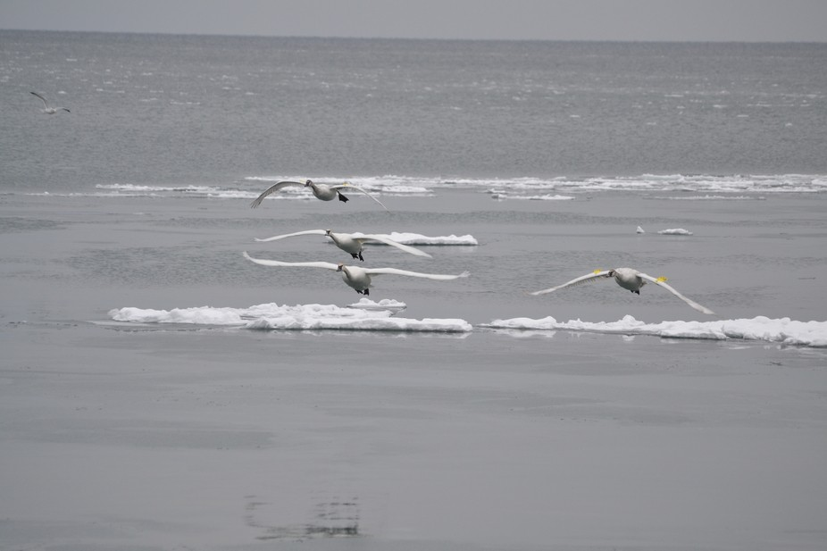 These four swans are cruising the breakwater of the Bluffers Park Marina. eventually they decide ...