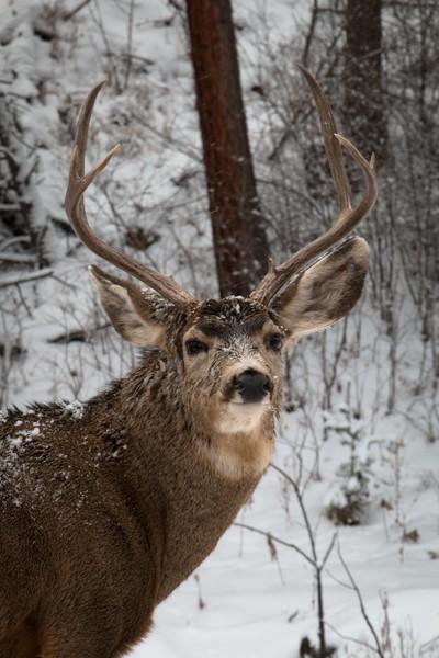 Mule Buck, Snow 2015 - Winter, 2015- (IMG_8894)