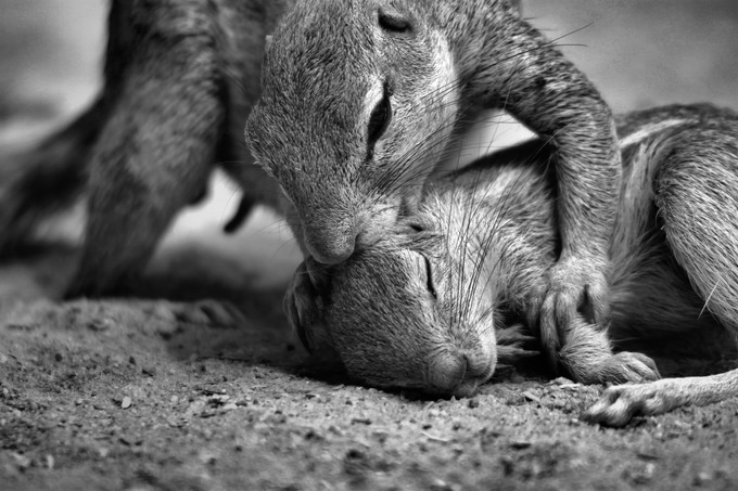 Ground squirrels grooming by ClarissaH83 - Small Wildlife Photo Contest