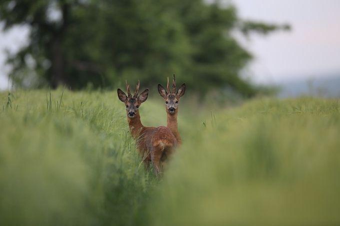 2 Bucks crossing ways IMG_3603 by jasonzinsmayer - Shallow Depth Of Field Photo Contest
