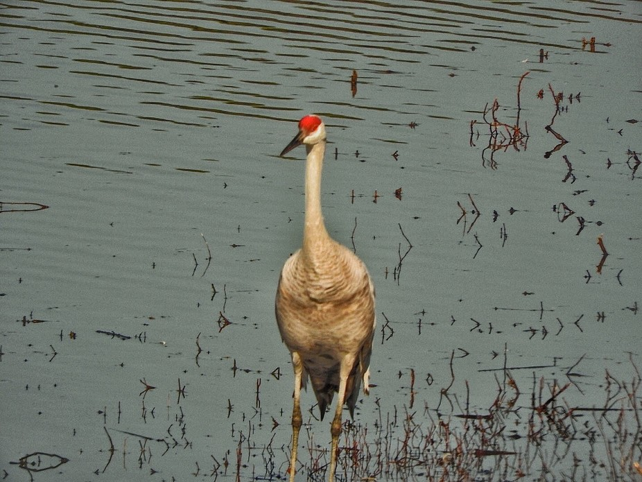Taken at Wheeler National Wildlife Refuge in n. Alabama. Taken through the glass at the Observation Building.