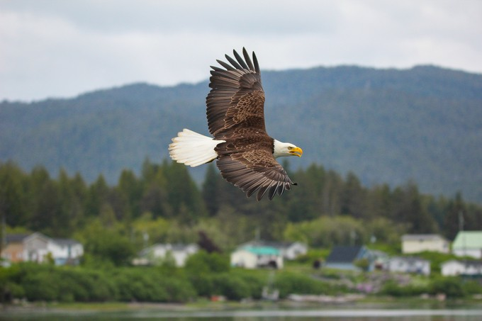 Bald Eagle by joechowaniec - Just Eagles Photo Contest