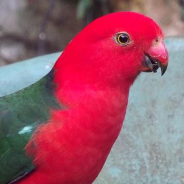 King Parrot....close up