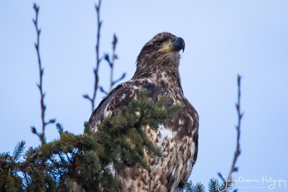 Golden eagle a majestic bird of prey.