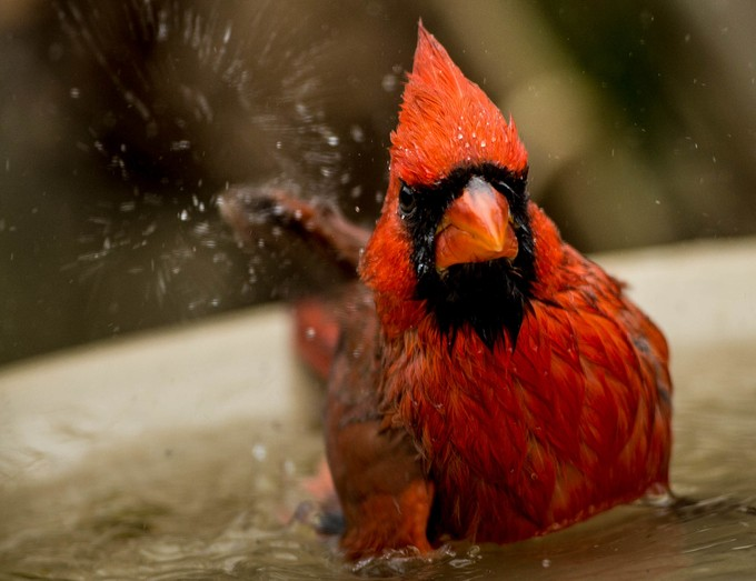 Male Cardinal by kerikson211 - It Is Red Photo Contest