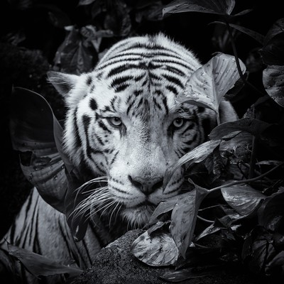 Sneaking white tiger _06A8496 nsep