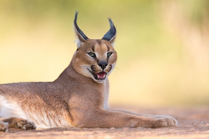Caracal by Hillebrand - Explore Africa Photo Contest