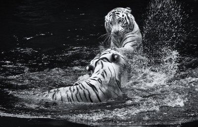 white tiger fights_06A8243nsep