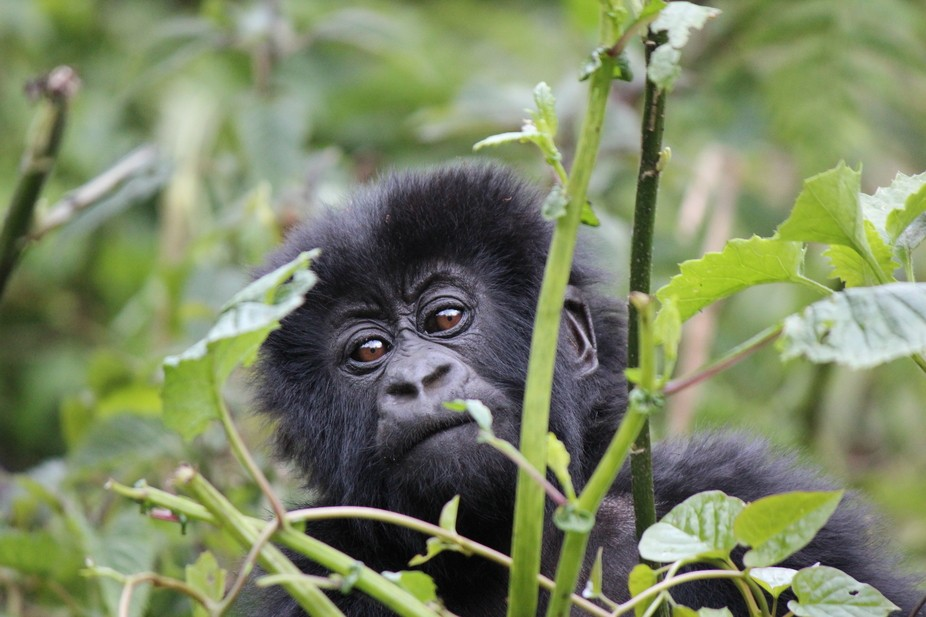 A young mountain gorilla in the mountains of Rwanda.  The youngster probably one a year old was e...