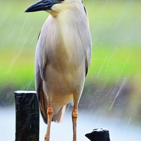 A heron caught in the rain