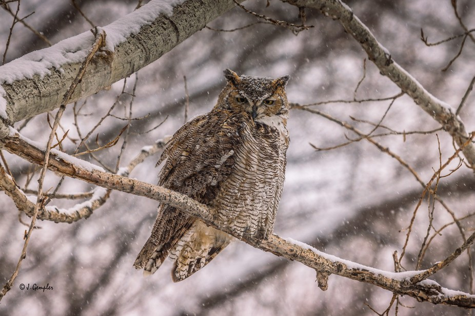 Just one of the pair of owls that frequents our trees, mostly during the summer months. I believe...