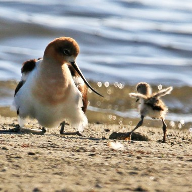 avocet-with-chick-img_2127_27620079503_o