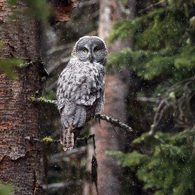 My one and only encounter with a Great Gray Owl was in Yellowstone in 2015. I had a brief conversation with another photographer while at a pullo...