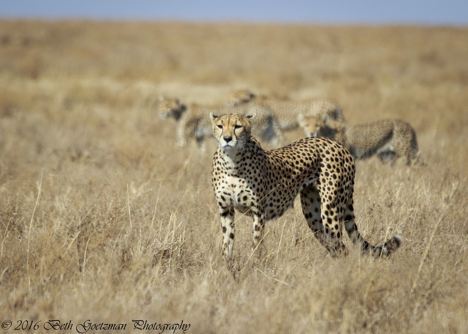 female cheetah with her four cubs, almost a year old.  She has to be a spectacular hunter for her...