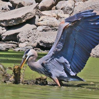 great-blue-heron-fishing-img_8749