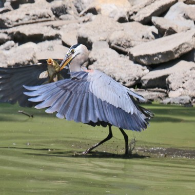 great-blue-heron-with-fish-img_8750
