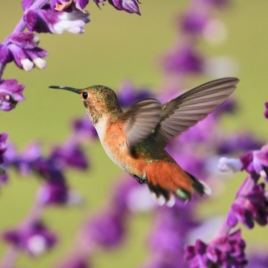 Hummingbird img_8283