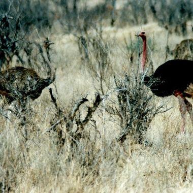Ostrich Face Off