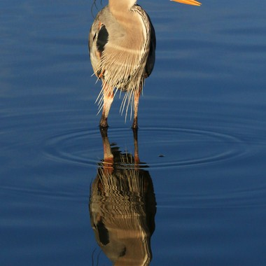 """Living """"Egyptian Hieroglyphs"""" on water...  Were the Egyptians inspired by this bird?"""
