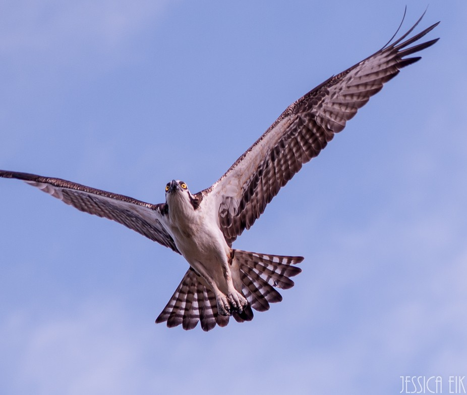 osprey_flight_2_1200 (1 of 1)