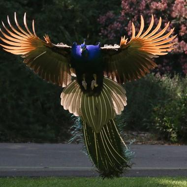 Peacock in flight img_1557