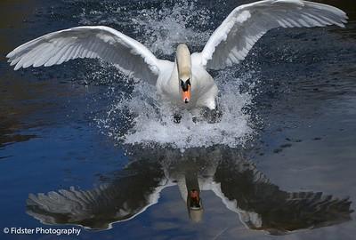 Charging Swan