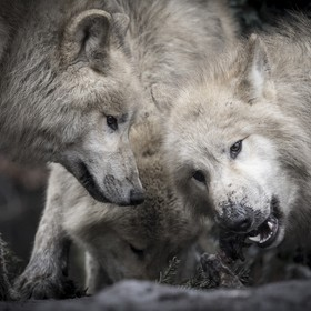 We revisited the Artis ZOO in Amsterdam, and man, have those wolf pups grown so quickly - from a bunch of unruly kids, they turned into an (almos...