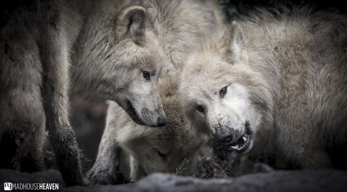 The Pack by MadhouseHeaven - Big Mammals Photo Contest