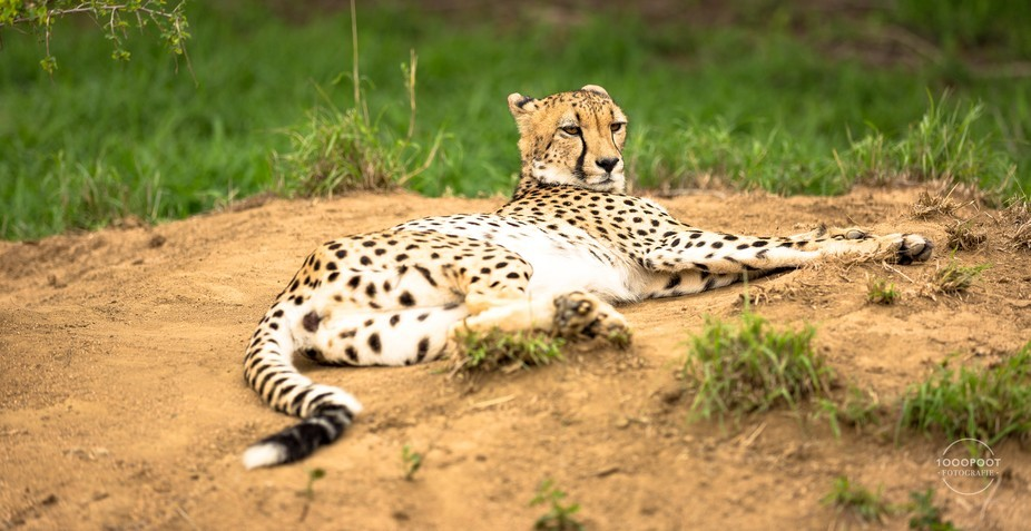 Cheetah was enjoying the cloudy weather, relaxing in the open with a disdainful ook on her face, ...