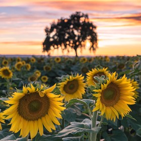 A wonderful day in the Sunflower field near Woodland, California.  I opted to focus on the beautiful sunflowers while allowing the background to ...